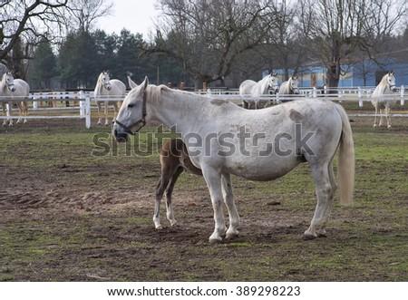 Mare and foal horse grazing in corral in Czech Republic. Detailed Picture of white horses outside on the pasture land in the spring. Breed of horse is Kladrubsky horse one of oldest races in Europe. - stock photo