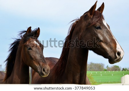 Mare and Foal Horses - stock photo