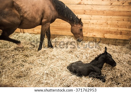 Mare and Foal, the mother horse and her hours old baby. - stock photo