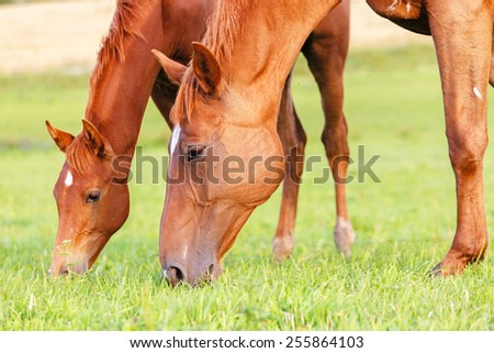 Mare and her foal grazing grass in summer pasture. - stock photo