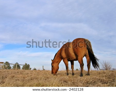 Mare grazing in the winter - stock photo