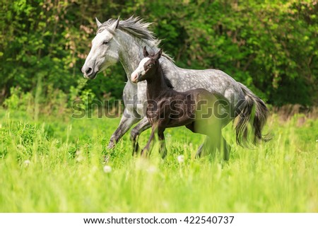 Mare with a foal running in summer meadow. - stock photo