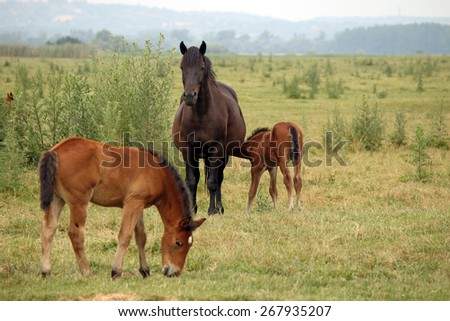 mare with foals on pasture - stock photo
