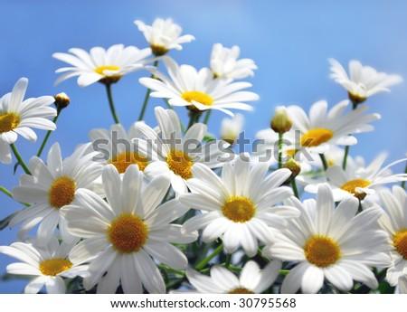 Marguerite - stock photo