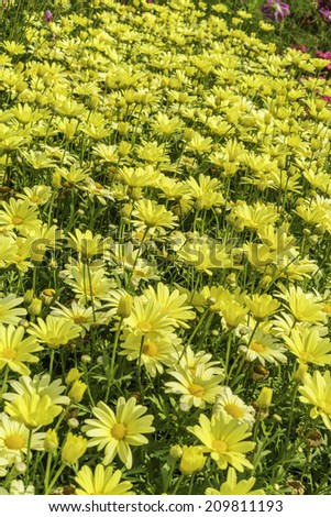 """Marguerite daisies (binomial name: Argyranthemum frutescens) in a summer garden, northern Illinois. These cultivars are called """"Butterfly."""" - stock photo"""