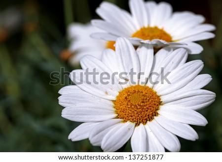 marguerite, dog daisy, oxeye daisy - stock photo