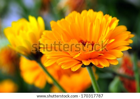 Marigold (Calendula officinalis) - stock photo