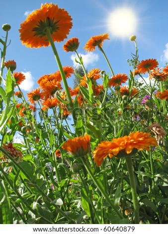 Marigold (Calendula) on the background of blue sky - stock photo