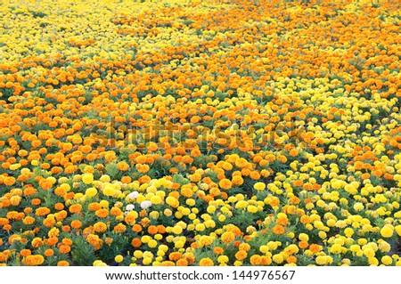 marigold flower background - stock photo