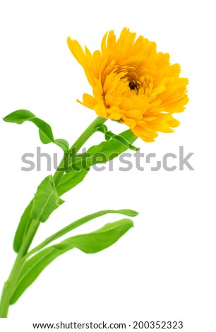 Marigold Flower - Beautiful Calendula officinalis Isolated on White Background. Top view - stock photo