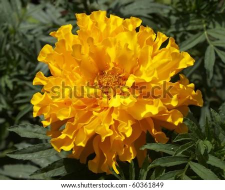 marigold flower, closeup - stock photo