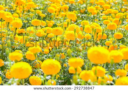 Marigold flower field,selective focus  with blur foreground and  background. - stock photo