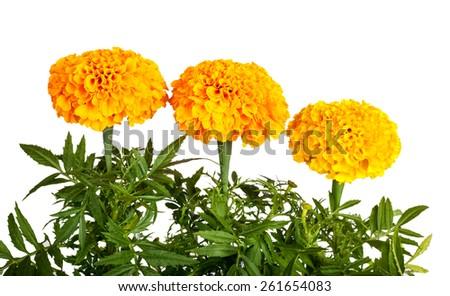Marigold flower isolated on white background. Tagetes - stock photo