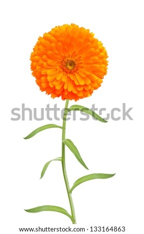 marigold flower on white background - stock photo