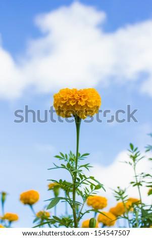 Marigold flower under blue sky - stock photo