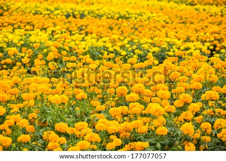 Marigold flowers field - stock photo