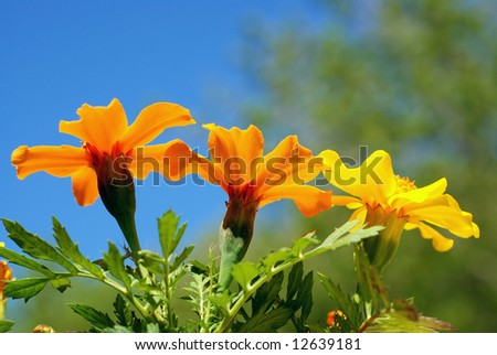 Marigold flowers from a low angle view with blue sky in the background - stock photo