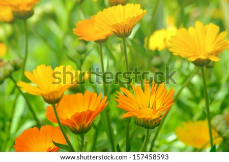 Marigold flowers in the garden, selective focus - stock photo