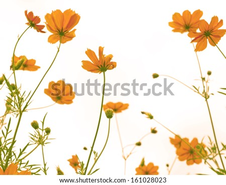 Marigold flowers in the meadow in the sunlight - stock photo
