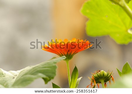 Marigold flowers in the meadow in the sunlight. Marigold (Calendula officinalis) - stock photo