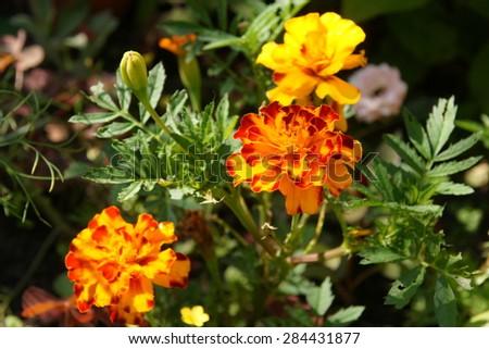 Marigold orange flower - stock photo