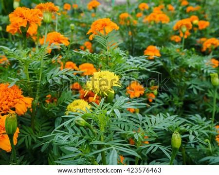 Marigolds in the garden - stock photo