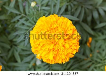 Marigolds (Tagetes erecta, Mexican marigold, Aztec marigold) - stock photo