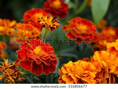 Marigolds (Tagetes erecta, Mexican marigold, Aztec marigold, African marigold) - stock photo