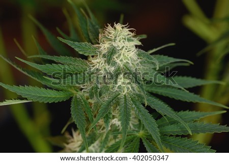 Marijuana bloom with white hairs and green leafs - stock photo