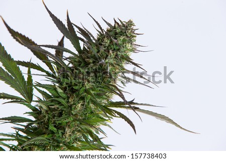 Marijuana bud - stock photo