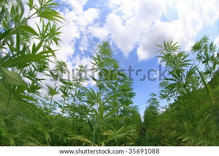 Marijuana field and blue sky - stock photo
