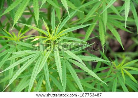 marijuana leaf - stock photo