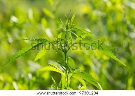 marijuana leaf on the green background - stock photo