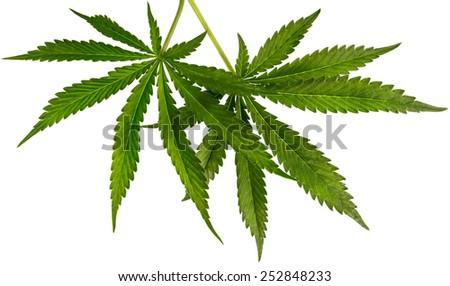 Marijuana leaves isolated on white background.  - stock photo