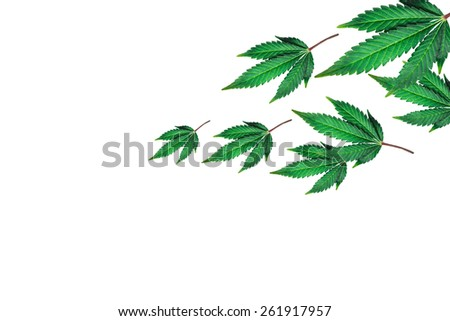 marijuana leaves on a white background - stock photo