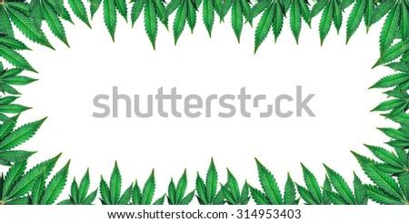 marijuana leaves on a white background - stock photo