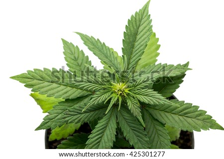 marijuana leavesplant on white background - stock photo