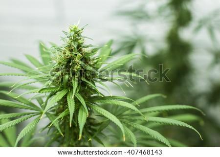 Marijuana plant. - stock photo