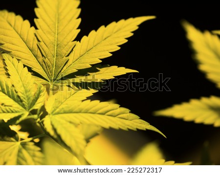 Marijuana Plant botanical, Hannabis Background - stock photo