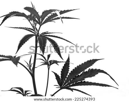 Marijuana Plant botanical, Hannabis Background - stock photo