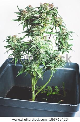 Marijuana plant in a pot - stock photo