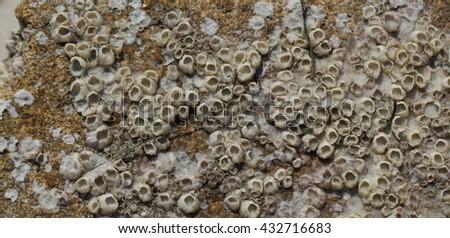 Marine Barnacles - stock photo