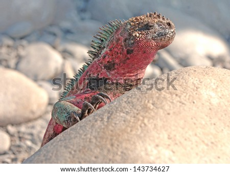 Marine Iguana, Galapagos Islands, Ecuador - stock photo