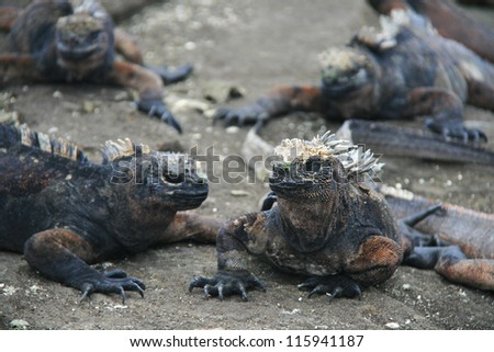 Marine Iguanas (Amblyrhynchus cristatus) on rock, Santa Cruz Island, Galapagos archipelago, Ecuador,  South America - stock photo