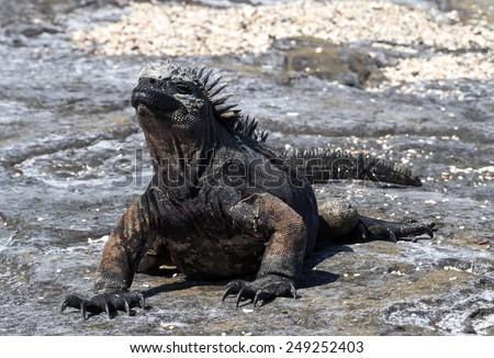 Marine Iguanas -  Galapagos Islands National Park - Ecuador South America - stock photo