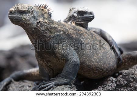 Marine iguanas laying on a rock near the beach of Puerto Villamil on Isla Isabela. Galapagos islands 2015. - stock photo
