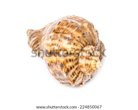 Marine Sea Shell Isolated On White Background - stock photo