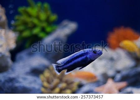 Marine tropical aquarium. Blue fish. Pseudochromis indigo. (soft focus, vintage paper background) - stock photo