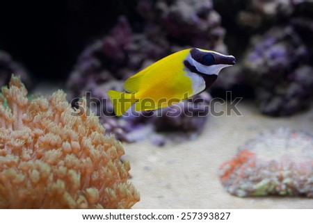 Marine tropical aquarium. Yellow fish. Chaetodon. (soft focus, vintage paper background) - stock photo