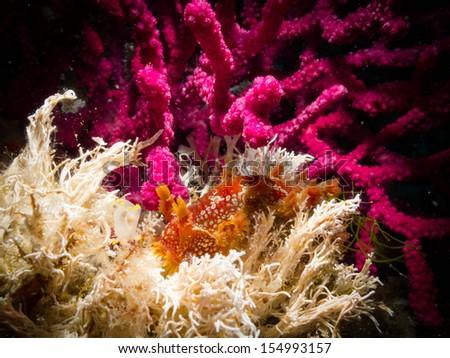 Marionia blainvillea - stock photo